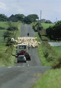 Schafe kreuzen Autostraßen in Irland