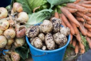 Irische Kartoffeln und Karotten frisch geerntet
